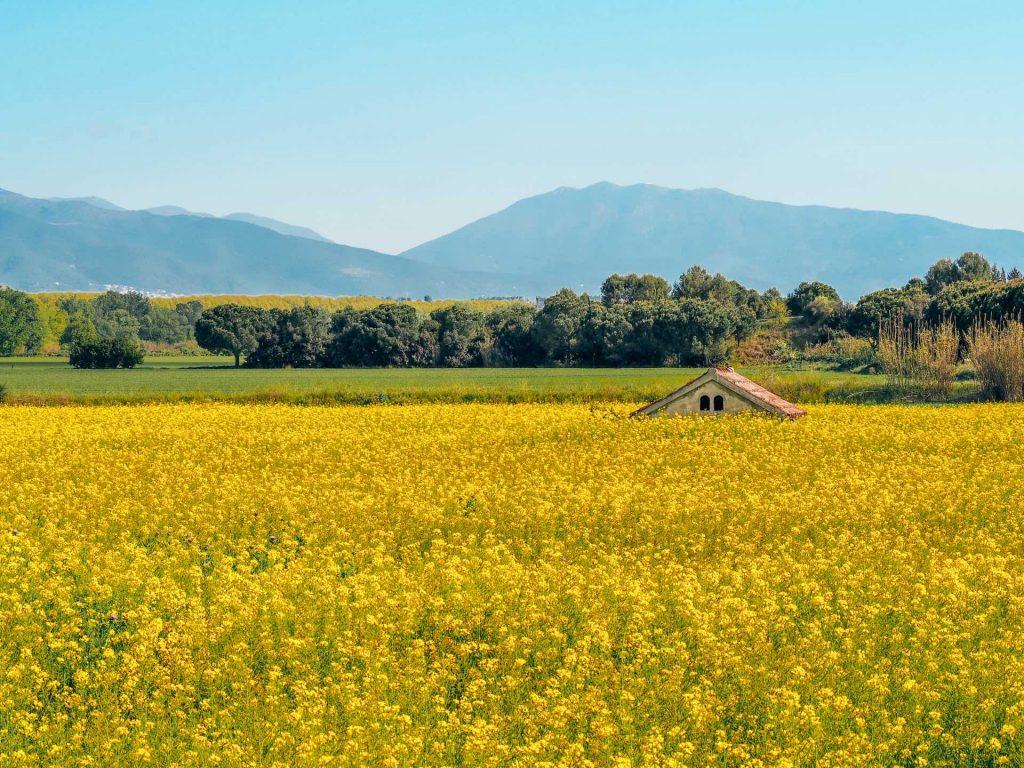 Campos de Colza en La Roca del Vallès