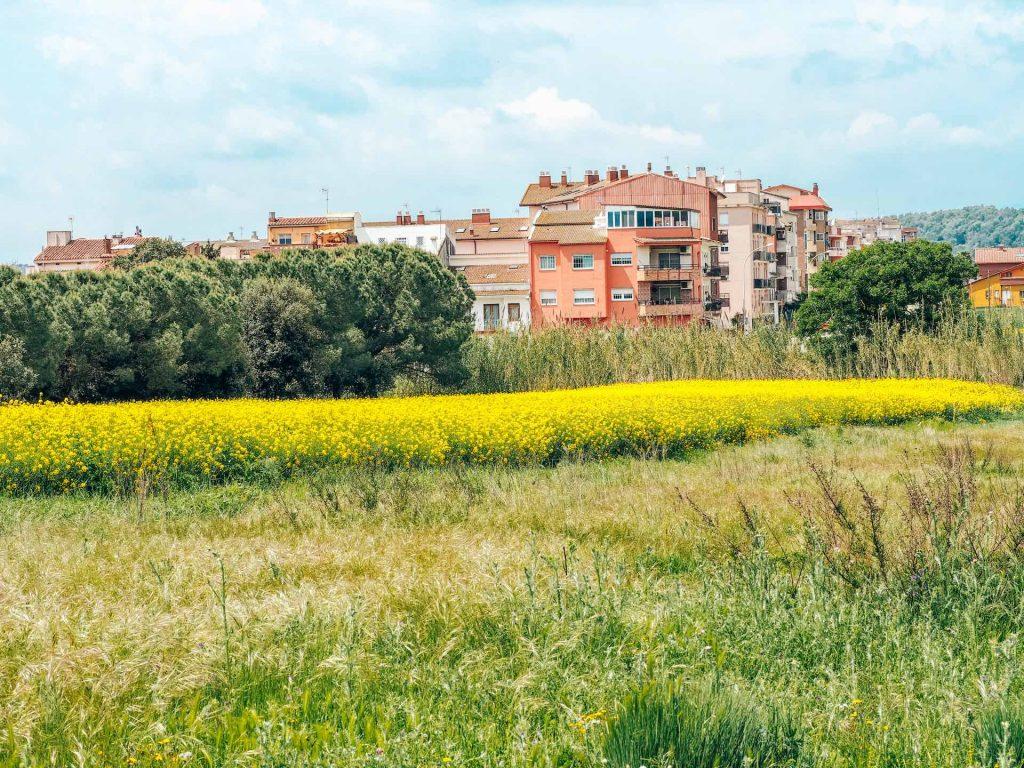 Campos de Colza de Cardedeu