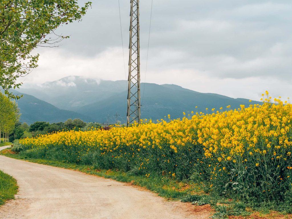 Campos de Colza en Sant Antoni de Vilamajor