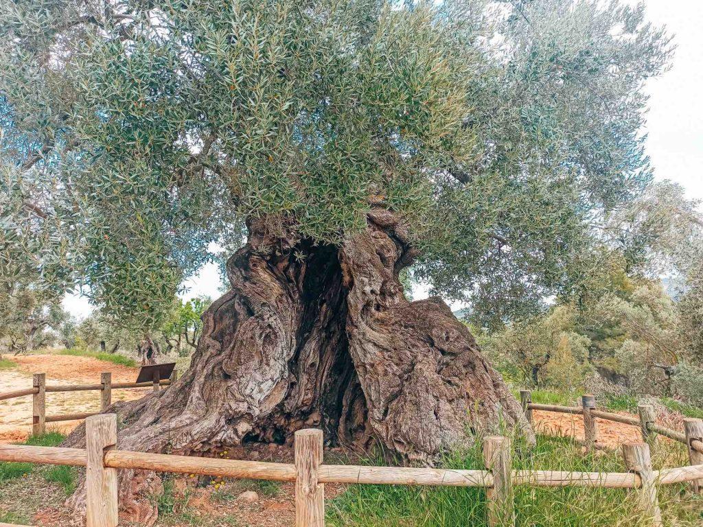 Olivera Lo Parot, el árbol milenario de Horta de Sant Joan